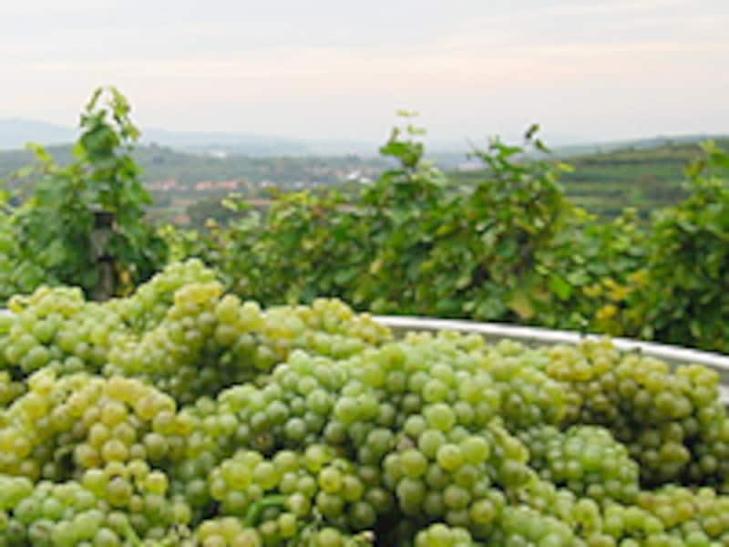 畑を背景にした緑色のブドウが積み重なる