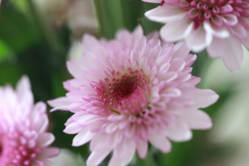 「重陽の節句」は「菊の節句」、9月9日節句