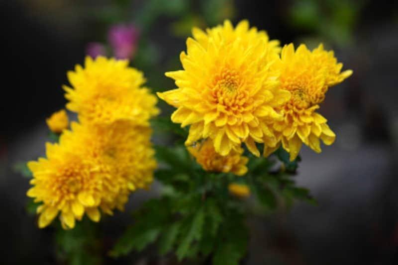 9月9日・重陽の節句(菊の節句)は五節句を締めくくる行事