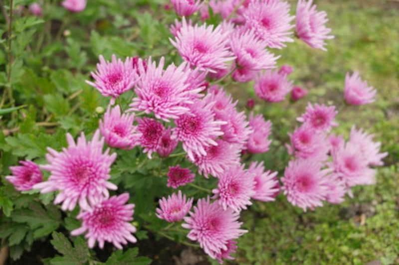 重陽の節句・菊の節句・9月9日節句 食べ物・行事食 食用菊