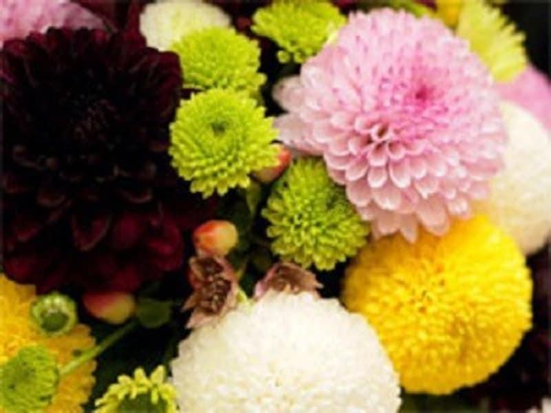 重陽の節句・菊の節句・9月9日節句 ピンポンマム