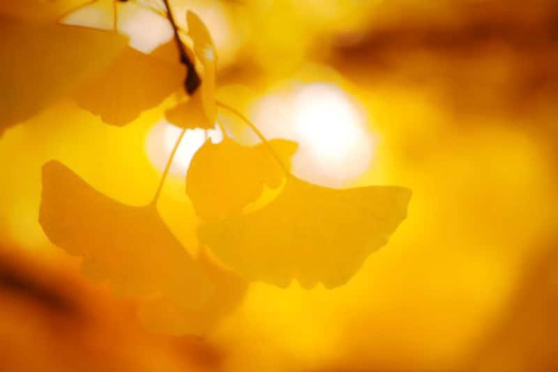 街路樹としてもお馴染みのイチョウ。黄金色の葉、落ち葉を踏みしめて歩く音、銀杏の香り…街中でも深まる秋を感じさせてくれます