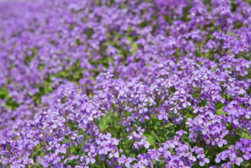 花大根は紫色の菜の花