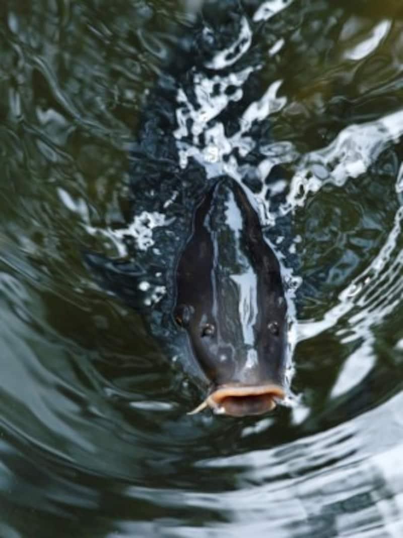 鯉のぼり立身出世