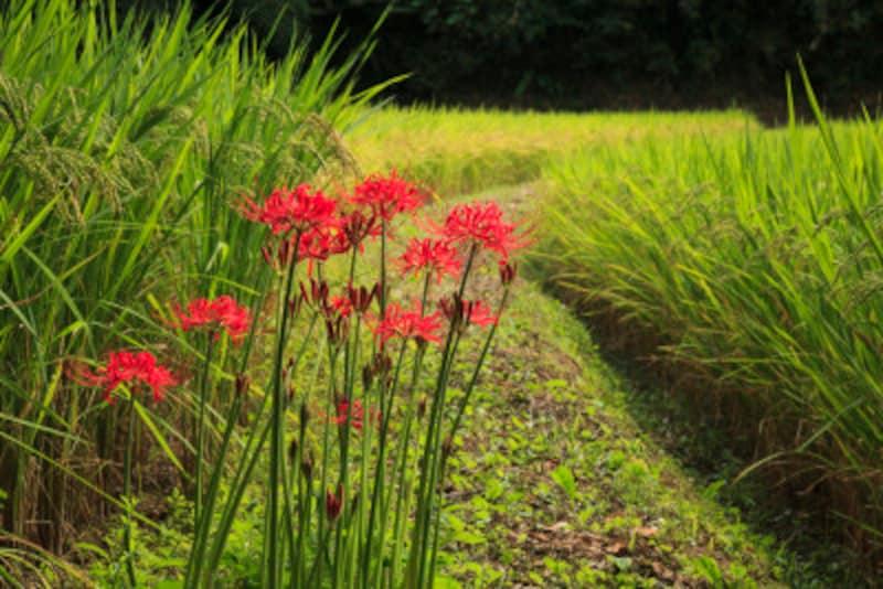 彼岸花・曼殊沙華以外の別名…「毒花」「痺れ花」という別名は、毒があることから