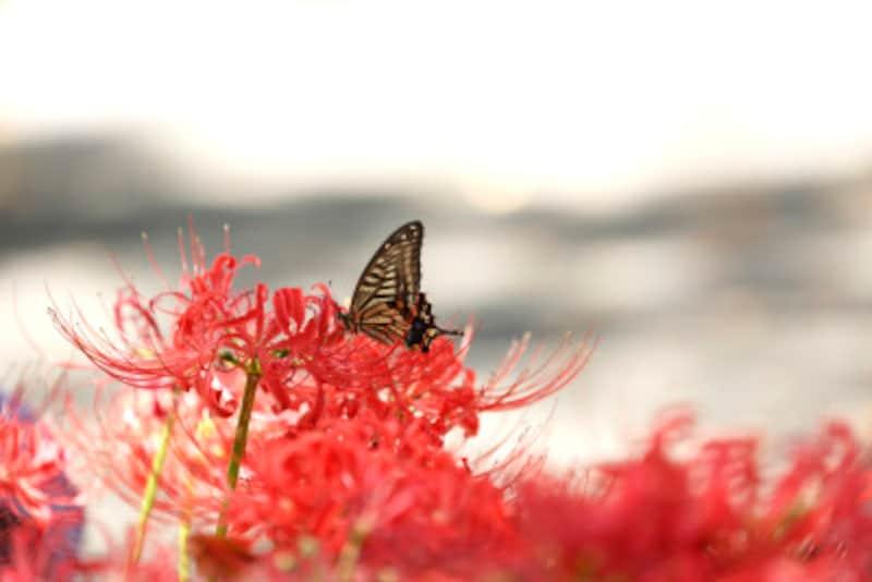彼岸花・曼殊沙華の生長サイクルは、普通の植物と逆