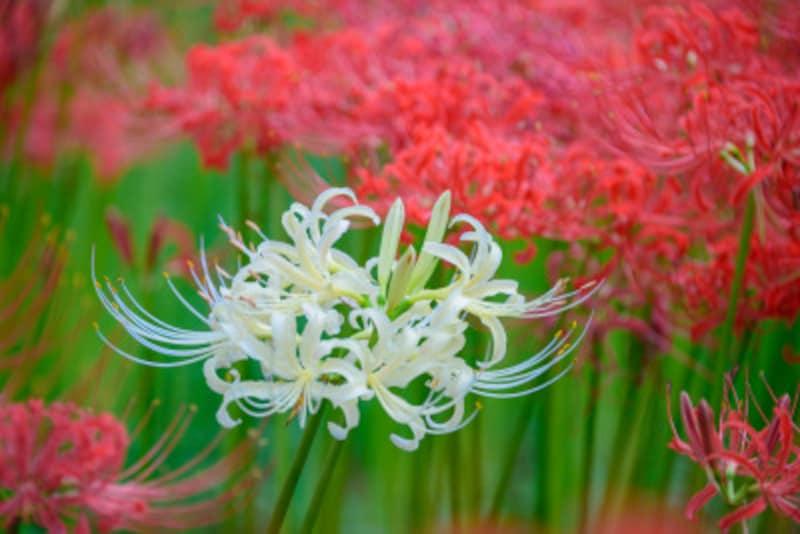 白い彼岸花を見たことがありますか?シロバナマンジュシャゲといいます