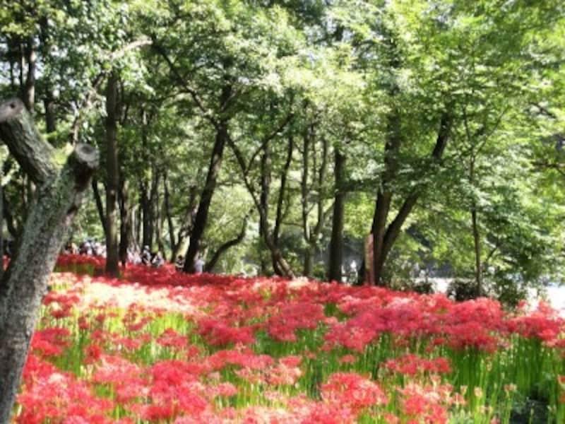 埼玉県日高市の「巾着田(きんちゃくだ)」は曼珠沙華の里として有名。今年もお彼岸の頃に見頃を迎えます。詳しくはひだか巾着田HPをご覧ください。<写真:橋本かおる>