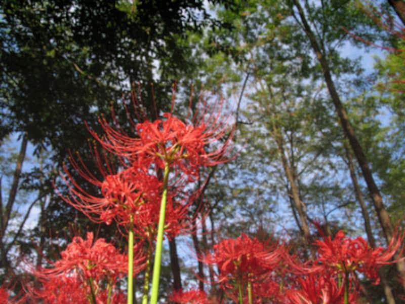 彼岸花・曼殊沙華以外の別名…「天蓋花」「狐の松明」「狐のかんざし」など、花の様子からついた別名もたくさんあります