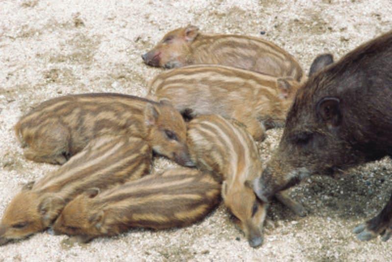 かわいいウリ坊。多産の猪は子孫繁栄に通じるとされています