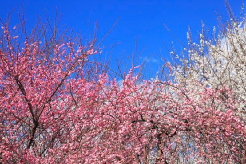 これは梅の花 「桜・桃・梅」の違い~開花時期・見分け方・花言葉