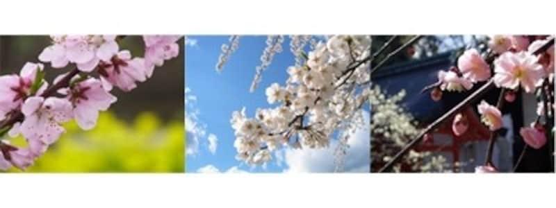梅・桃・桜の比較