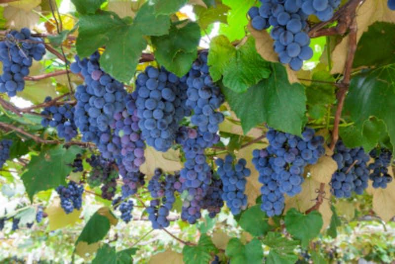 おいしいブドウには、表面に白っぽい「ブルーム」がついています