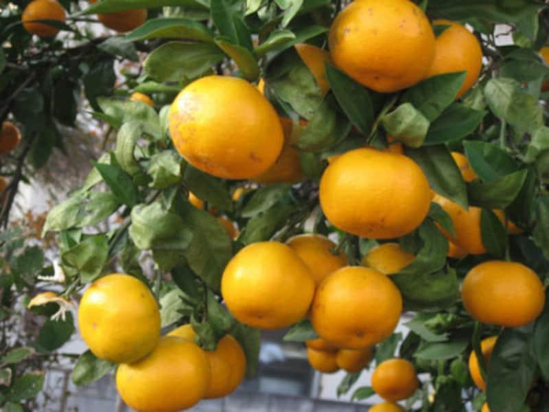 たわわな蜜柑…どれにしましょう?
