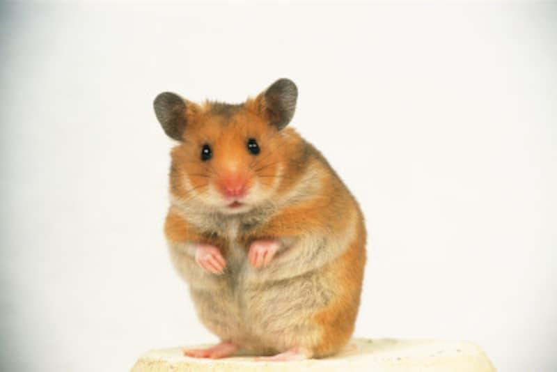 干支ねずみ・ネズミ・子 十二支で1番の理由