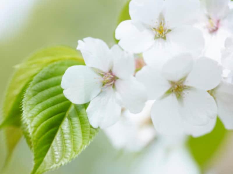大島桜 桜餅を包む桜の葉の塩漬け