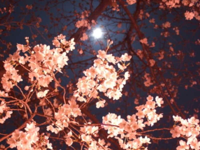 夜桜を照らす「朧月」