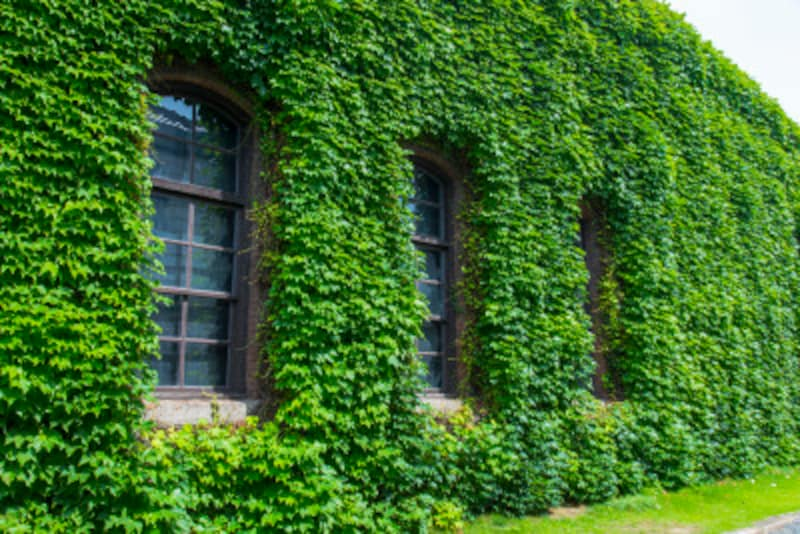 ヨーロッパで蔦に覆われた家が多いのは、魔除けになり裕福な家の象徴だから