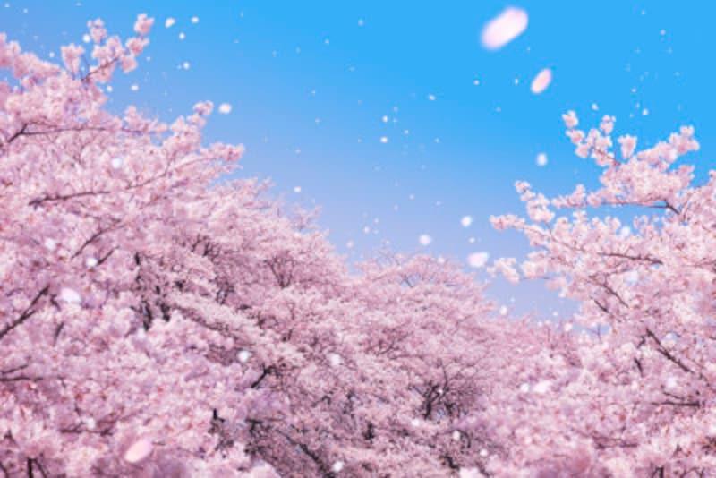 桜の種類や見分け方