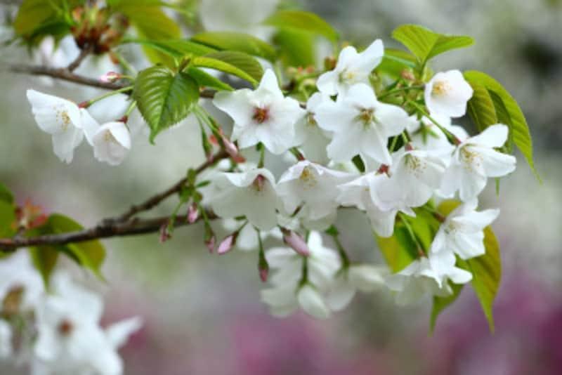 桜の種類や見分け方 山桜