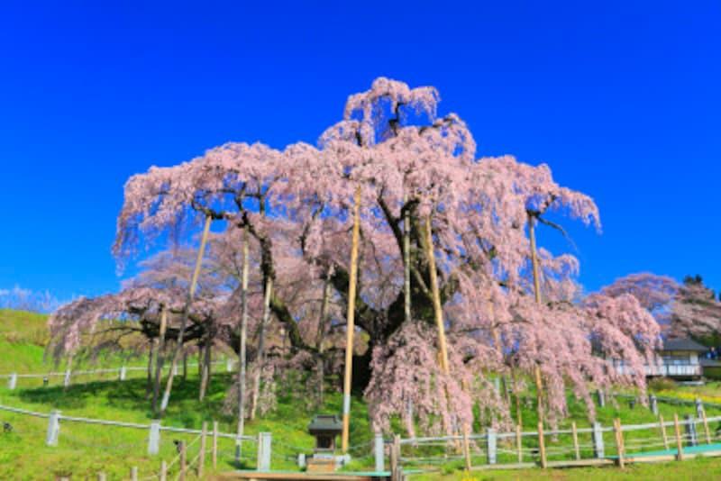 桜の種類や見分け方 三春滝桜