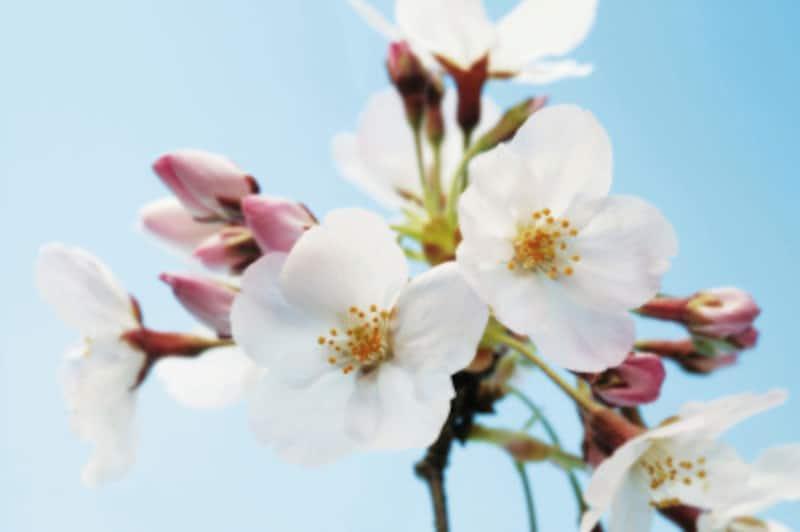 桜の種類や見分け方 染井吉野