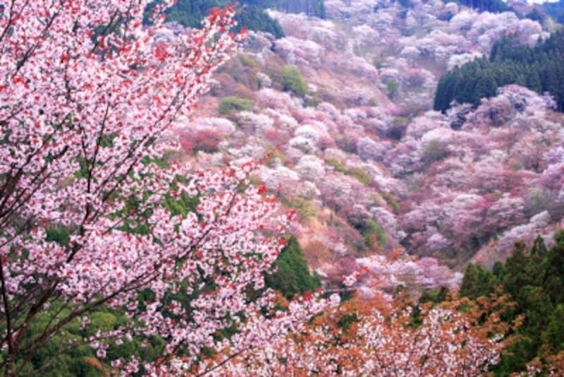 桜の種類や見分け方 吉野山