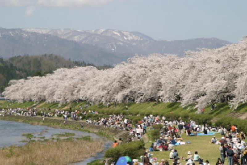 染井吉野はクローンなので一斉に咲きだし、お花見にもうってつけ