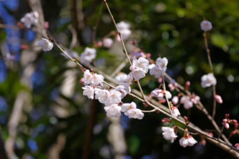 桜の種類や見分け方 豆桜