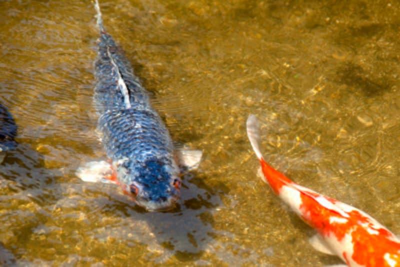 生命力の強い鯉だからこそ、竜門を登って龍になれたのです!