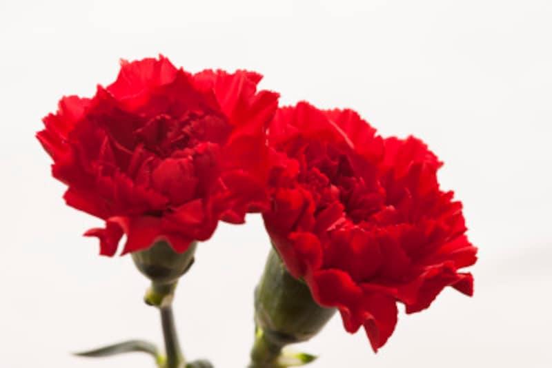 昔から母と子を象徴する花として崇められていたカーネーション。赤と白で意図するものが違います