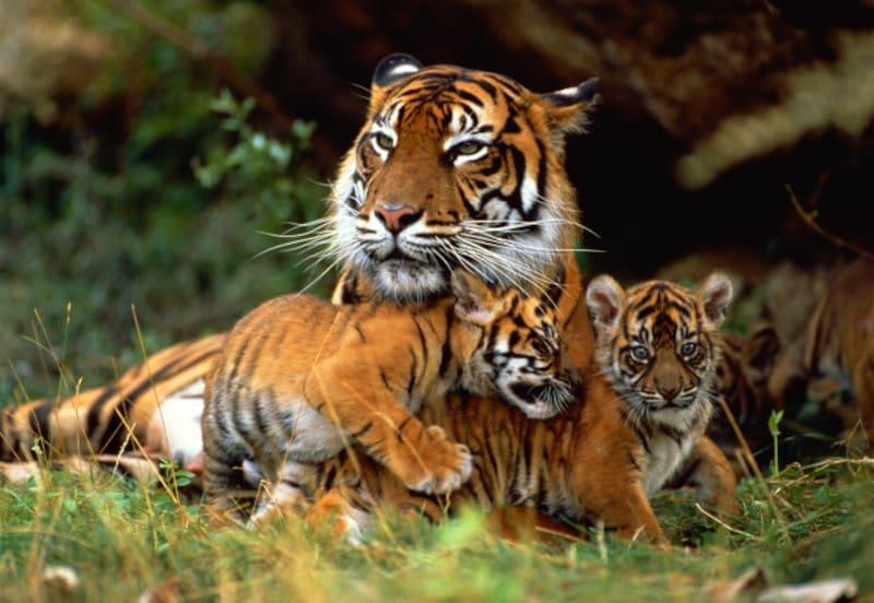 虎は自分の子をとても大事にすることから、虎の子がらみのことわざも多い