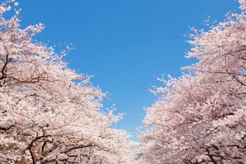 今年の開花は全国的に早めです