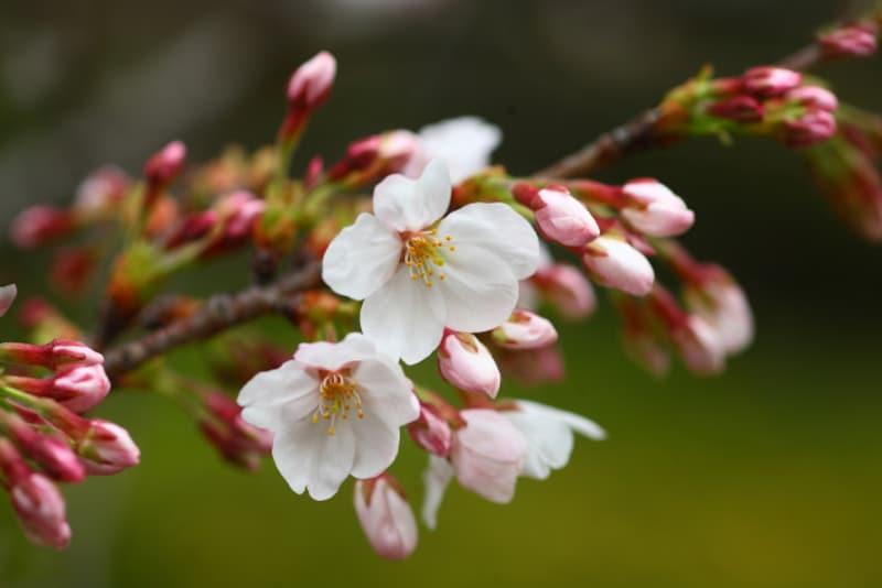開花宣言に注目が集まります