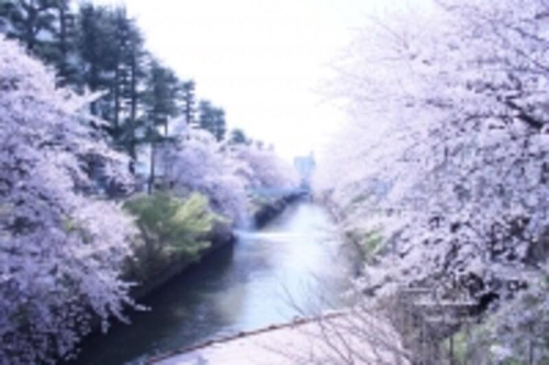 見ごろはいつ?undefinedお目当ての桜の様子が気になりますね