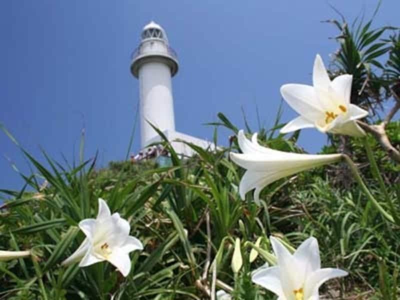 4月テッポウユリが風に揺れる御神崎undefined写真提供:石垣島海辺COM