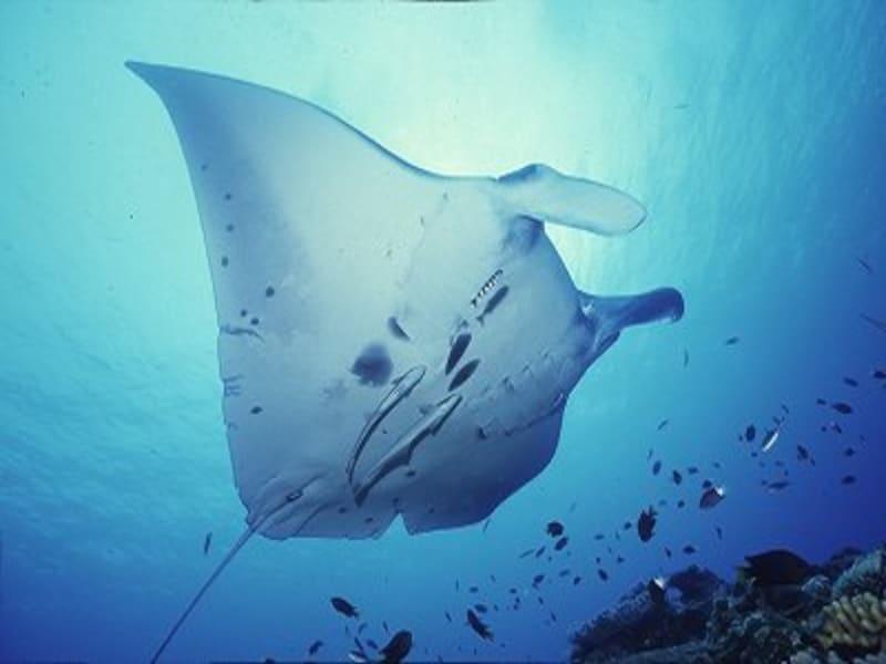 石垣島といえばマンタ!優雅に泳ぐマンタの姿を見に世界中からダイバーたちが集まりますundefined写真提供:ジーフリー