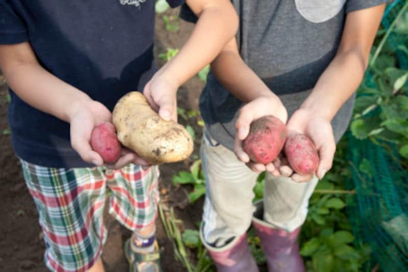 芋掘りの意味とは