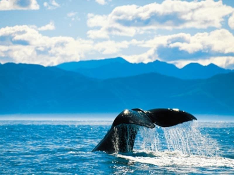 ホエール・ウォッチングのツアーに参加すれば、迫力あるクジラが見られる©ニュージーランド政府観光局