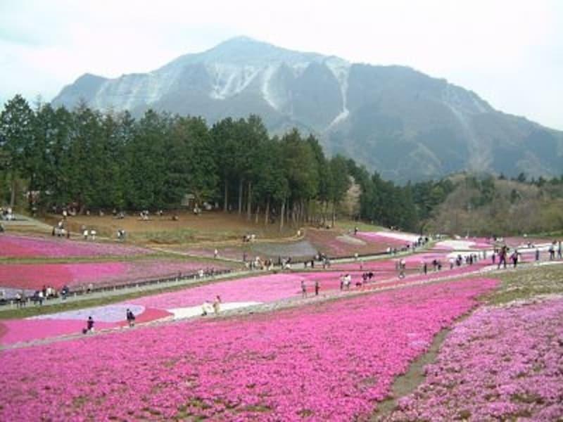 羊山公園の芝桜。秩父のシンボル、武甲山をバックに色とりどりの芝桜がじゅうたんを敷いたように広がっている