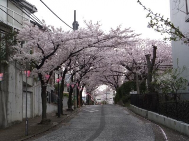 港南桜道の桜