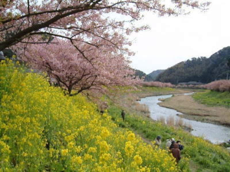 みなみの桜と菜の花まつり(1)/桜と菜の花