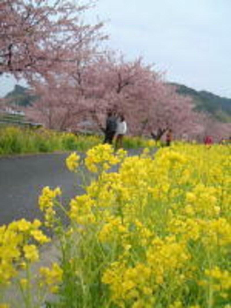 みなみの桜と菜の花まつり(2)/桜と菜の花