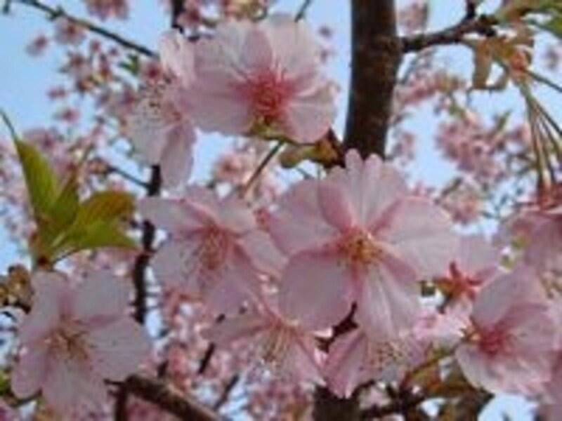 下賀茂では「みなみの桜」と呼ばれているカワヅザクラ(2007年2月25日撮影)
