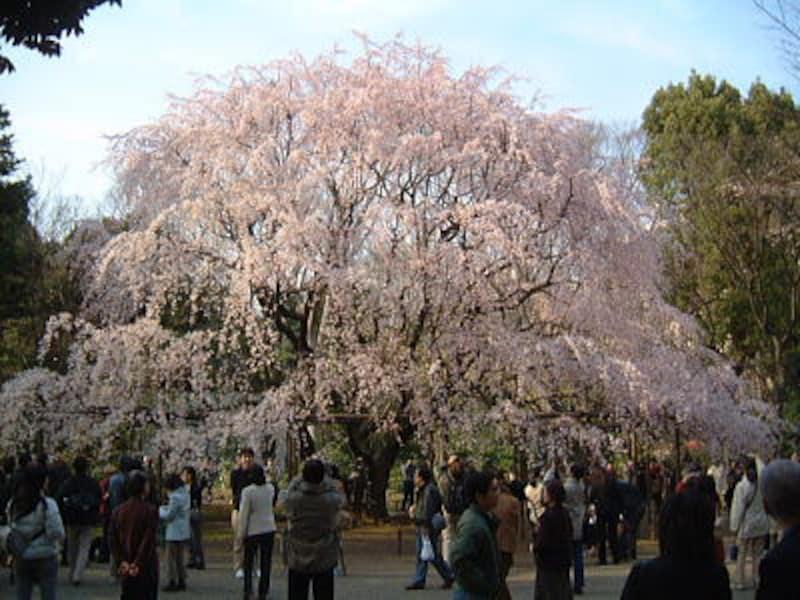 六義園のしだれ桜(1)