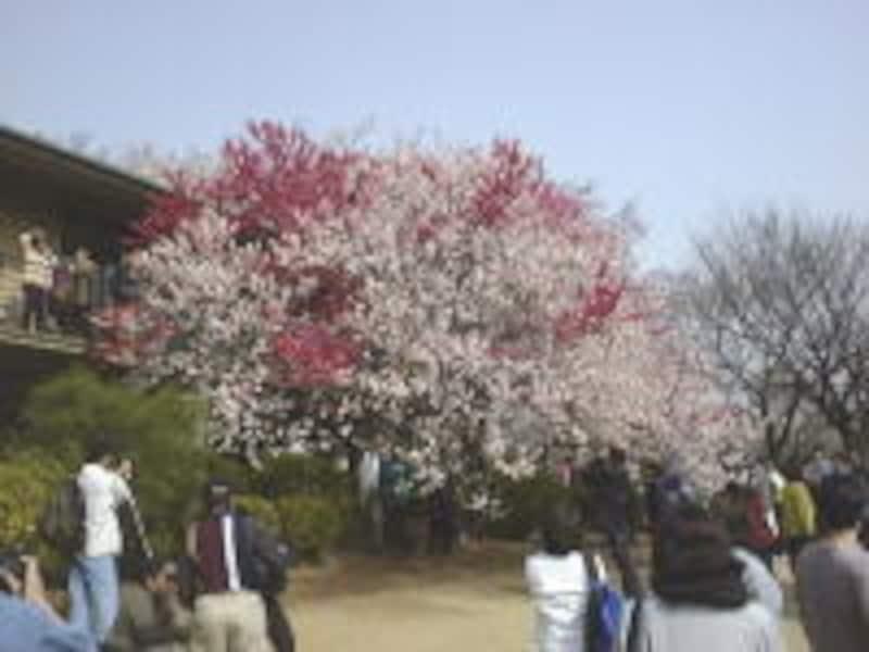 新宿御苑の桜(2)/ハナモモ