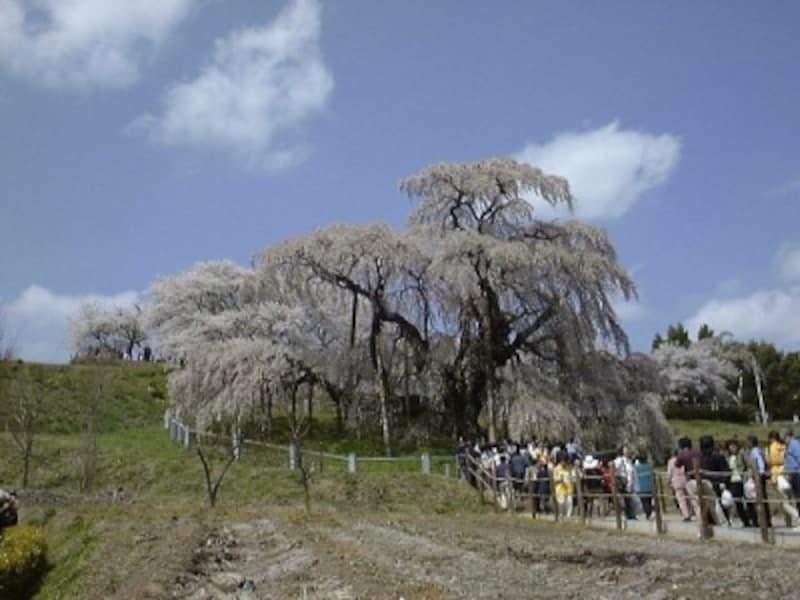 三春の滝桜(1)