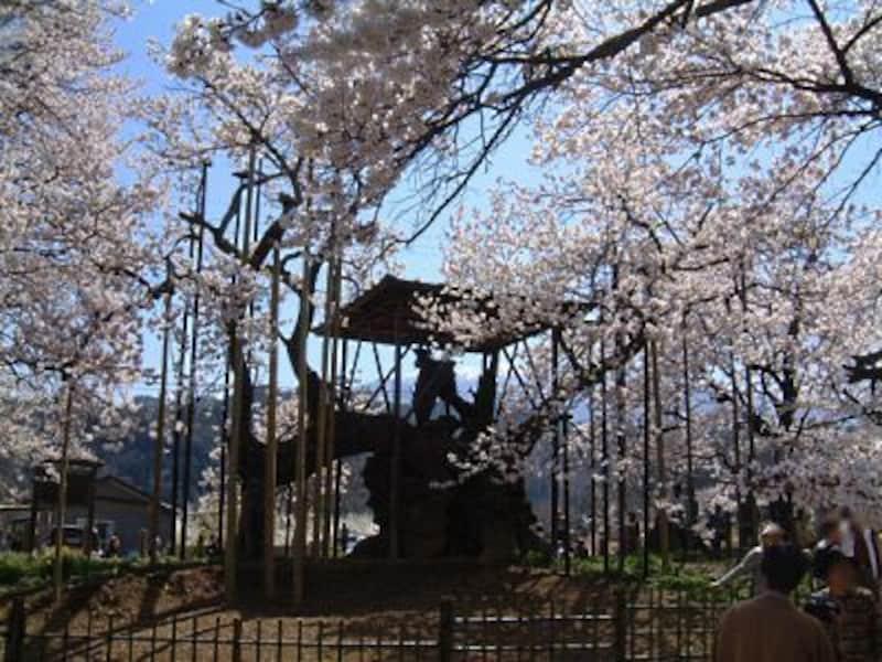 山高神代桜(1)