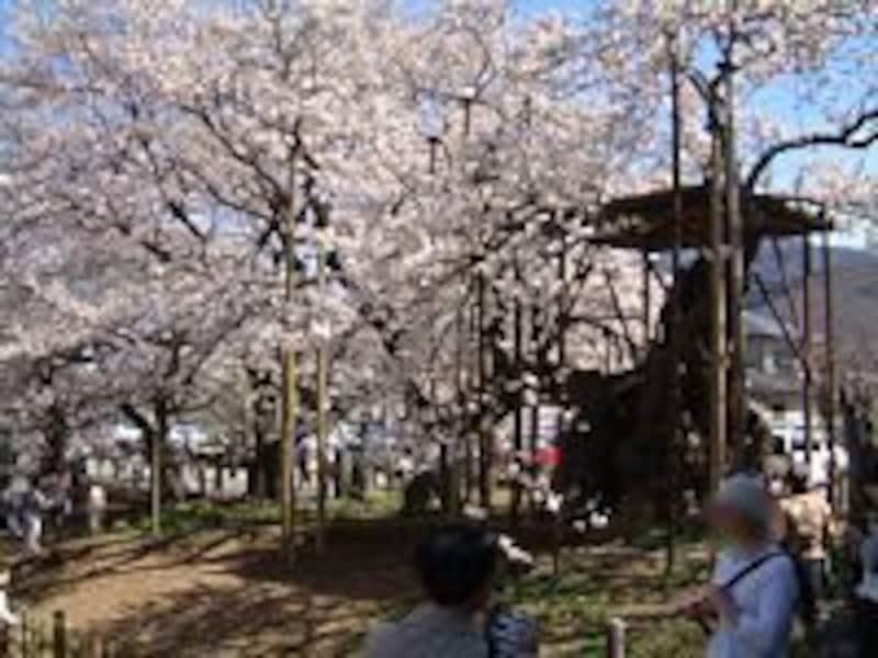 山高神代桜(2)