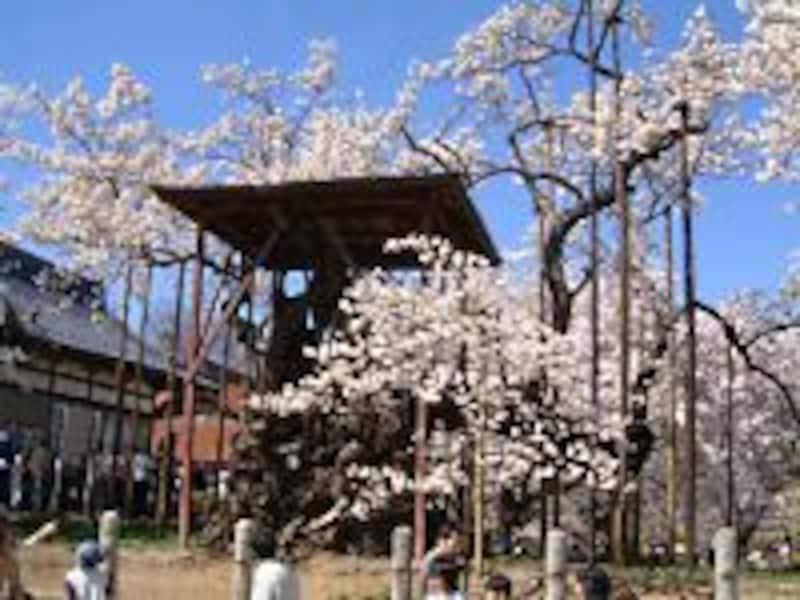 山高神代桜(3)